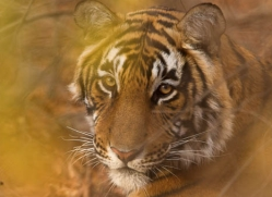 bengal-tiger-india-1460-copyright-photographers-on-safari-com