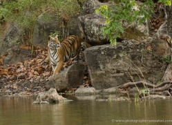 bengal-tiger-india-1462-copyright-photographers-on-safari-com