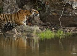 bengal-tiger-india-1463-copyright-photographers-on-safari-com