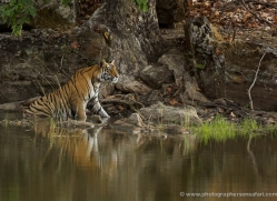 bengal-tiger-india-1464-copyright-photographers-on-safari-com