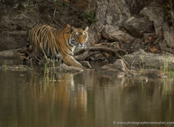 bengal-tiger-india-1465-copyright-photographers-on-safari-com