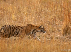 bengal-tiger-india-1468-copyright-photographers-on-safari-com