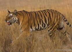 bengal-tiger-india-1471-copyright-photographers-on-safari-com