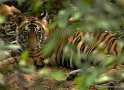 bengal-tiger-india-1476-copyright-photographers-on-safari-com