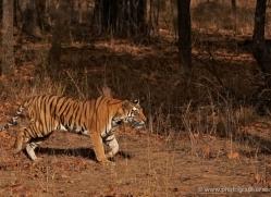bengal-tiger-india-1480-copyright-photographers-on-safari-com