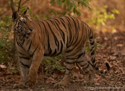 bengal-tiger-india-1482-copyright-photographers-on-safari-com