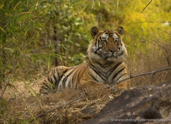 bengal-tiger-india-1486-copyright-photographers-on-safari-com