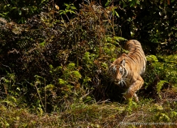 bengal-tiger-india-1488-copyright-photographers-on-safari-com
