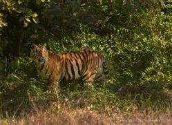 bengal-tiger-india-1489-copyright-photographers-on-safari-com