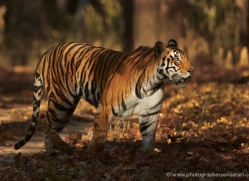 bengal-tiger-india-1493-copyright-photographers-on-safari-com
