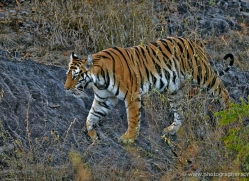 bengal-tiger-india-1495-copyright-photographers-on-safari-com