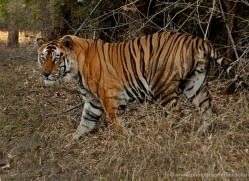 bengal-tiger-india-1499-copyright-photographers-on-safari-com