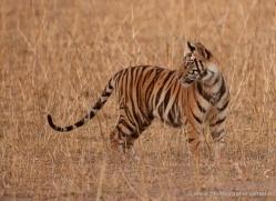 bengal-tiger-india-1500-copyright-photographers-on-safari-com