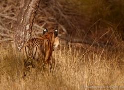 bengal-tiger-india-1502-copyright-photographers-on-safari-com