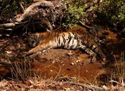 bengal-tiger-india-1503-copyright-photographers-on-safari-com