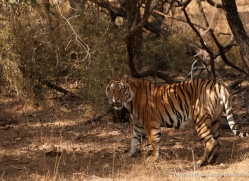 bengal-tiger-india-1505-copyright-photographers-on-safari-com