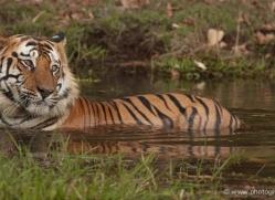 bengal-tiger-india-1508-copyright-photographers-on-safari-com
