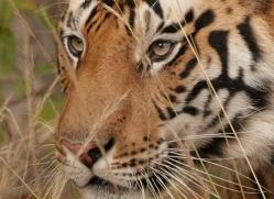 bengal-tiger-india-1509-copyright-photographers-on-safari-com