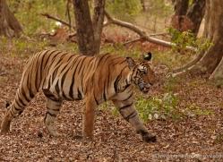 bengal-tiger-india-1510-copyright-photographers-on-safari-com