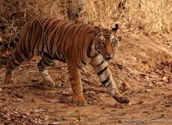 bengal-tiger-india-1512-copyright-photographers-on-safari-com