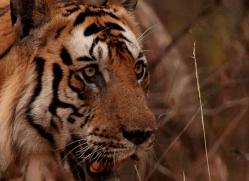 bengal-tiger-india-1513-copyright-photographers-on-safari-com