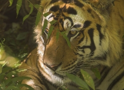 bengal-tiger-india-1514-copyright-photographers-on-safari-com