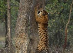 bengal-tiger-india-1515-copyright-photographers-on-safari-com