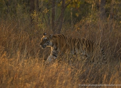 bengal-tiger-india-1517-copyright-photographers-on-safari-com