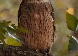 brown-wood-owl-india-1416-copyright-photographers-on-safari-com