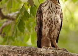 changeable-hawk-eagle-india-1418-copyright-photographers-on-safari-com