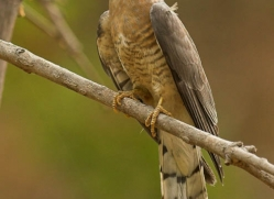 common-hawk-cuckoo-india-1420-copyright-photographers-on-safari-com
