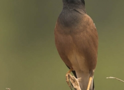 common-myna-india-1429-copyright-photographers-on-safari-com