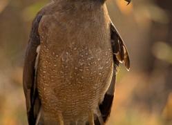 crested-serpent-eagle-india-1415-copyright-photographers-on-safari-com