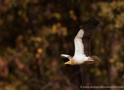 egyptian-vulture-india-1436-copyright-photographers-on-safari-com