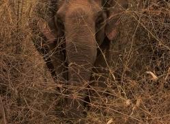 elephant-india-1437-copyright-photographers-on-safari-com