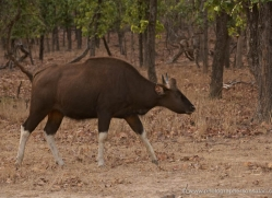 guar-india-1409-copyright-photographers-on-safari-com