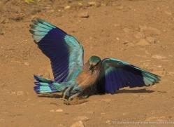 india-n-roller-india-1425-copyright-photographers-on-safari-com