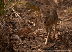 jackal-india-1431-copyright-photographers-on-safari-com