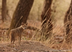 jackal-india-1432-copyright-photographers-on-safari-com