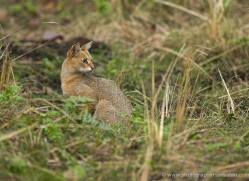 jungle-cat-india-1421-copyright-photographers-on-safari-com