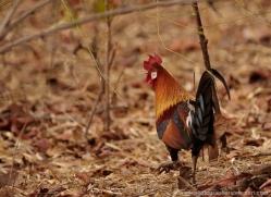 jungle-fowl-india-1412-copyright-photographers-on-safari-com