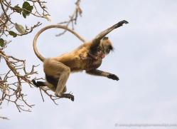 langur-monkey-india-1371-copyright-photographers-on-safari-com