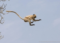 langur-monkey-india-1372-copyright-photographers-on-safari-com