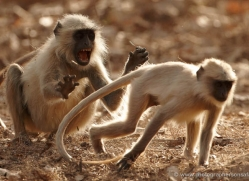 langur-monkey-india-1373-copyright-photographers-on-safari-com