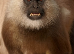 langur-monkey-india-1374-copyright-photographers-on-safari-com
