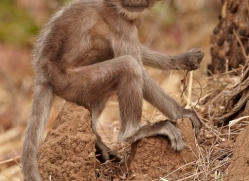 langur-monkey-india-1376-copyright-photographers-on-safari-com