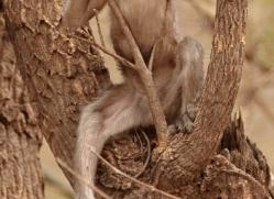 langur-monkey-india-1377-copyright-photographers-on-safari-com