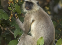 langur-monkey-india-1378-copyright-photographers-on-safari-com