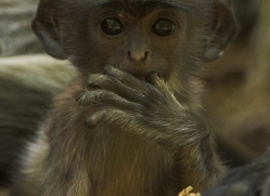 langur-monkey-india-1380-copyright-photographers-on-safari-com