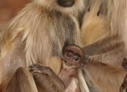 langur-monkey-india-1381-copyright-photographers-on-safari-com